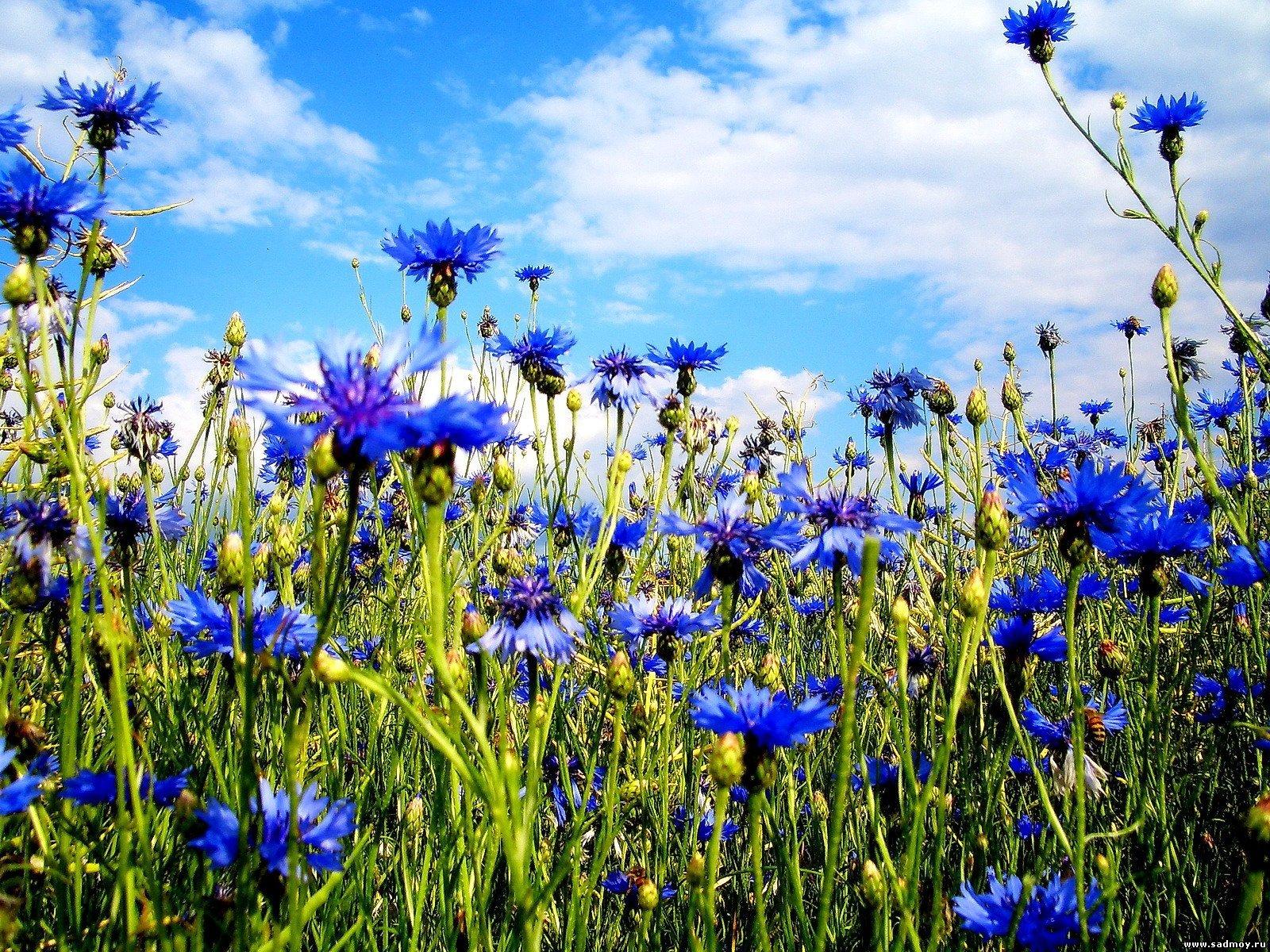 Для этих целей брали окружные цветки василька и...